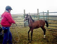 Joe working with a young foal on a halter.