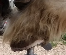 Horse's hoof on a stand showing the mustang roll